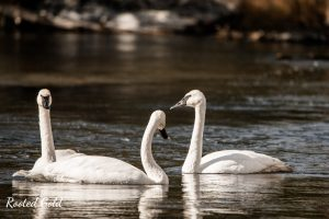 Birds in Yellowstone